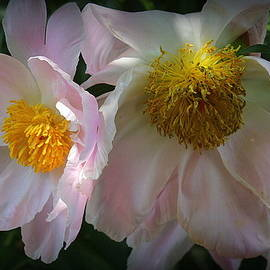 Fading Beauties - Pink Peonies by Dora Sofia Caputo Photographic Design and Fine Art