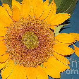 Dora Sofia Caputo Photographic Design and Fine Art - Fading Beauty - Sunflower