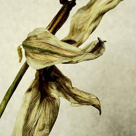 Fading lily # 1. by Alexander Vinogradov