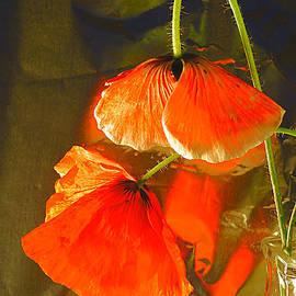 Fading Poppies. by Alexander Vinogradov