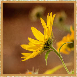 Fall Black-Eyed Susan - Square by Teresa Wilson