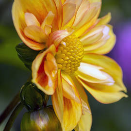 KG  Photography - Fall Dahlia