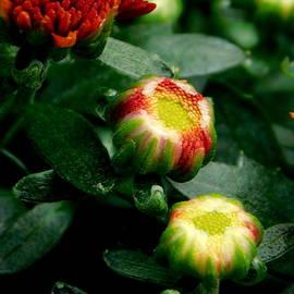 Fall Flower Series - 4 by Arlane Crump