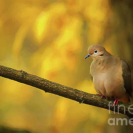 Darren Fisher - Fall Mourning Dove