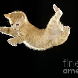 Falling Kitten by Jean-Michel Labat