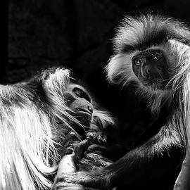 Family - Black And White Colobus Monkeys by Jason Politte