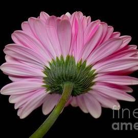 Jeannie Rhode - Fancy Pink Gerbera Daisy