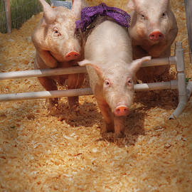 Mike Savad - Farm - Pig - Getting past hurdles