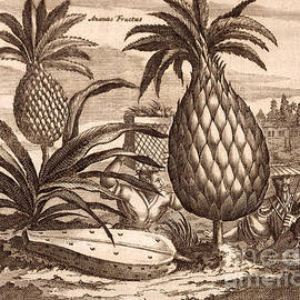 Farming Large Pineapples - English School
