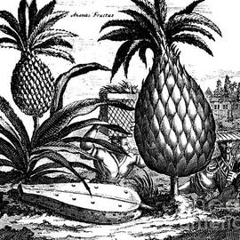 Farming Large Pineapples, illustration from a description of Embassies to China, 1690  - English School