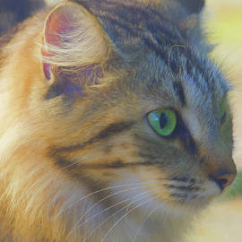 Jill Nightingale - Profile of a Maine Coon Cat