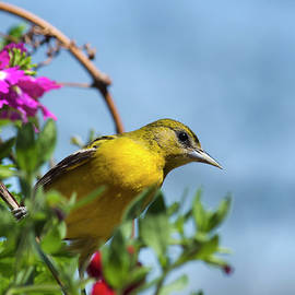 Female Baltimore Oriole in a Flower Basket by Christina Rollo