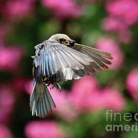 Female Bluebird in Flight by Douglas Stucky