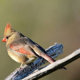 Todd Hostetter - Female Cardinal 1