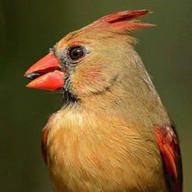 Female Cardinal Portrait by Jerry Griffin