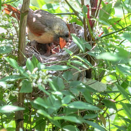 Female Cardinal with Hungry Offspring by William Morgan