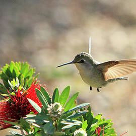 Female Costa's Hummingbird by Shoal Hollingsworth