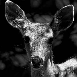 Female Deer Black And White Portrait by Sue Harper