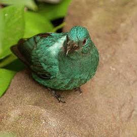 Chris Flees - female fairy bluebird from above