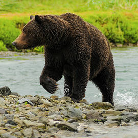 Cyril Furlan - Female Grizzly Emerging From Stream