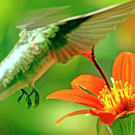 Female hummingbird having an afternoon snack by Geraldine Scull