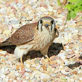 Female Kestrel Falcon by Shoal Hollingsworth
