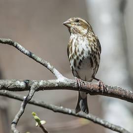 John Haldane - Female Purple Finch