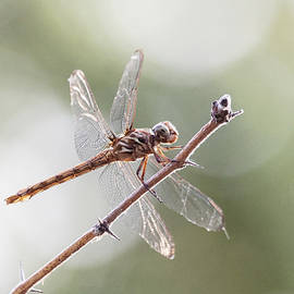 Female Roseate Skimmer by Ruth Jolly