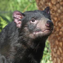Female Tasmanian Devil by Margaret Saheed