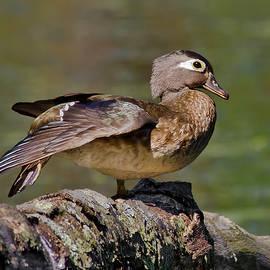 Morris Finkelstein - Female Wood Duck Perched