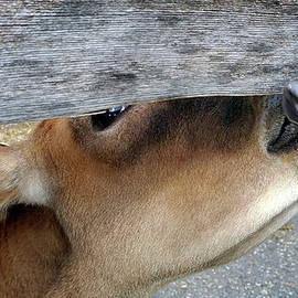Fence Licker by Bill Morgenstern