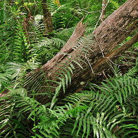 Amy Spear - Ferns at Corkscrew Swamp