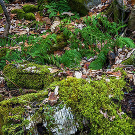 Ferns in December  by Alana Ranney