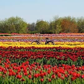 Festival of tulips Holland Ridge Farm in Upper Freehold, NJ by Geraldine Scull