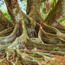 Ficus Roots by Rosalie Scanlon