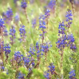 Saija Lehtonen - Field of Blue Lupines