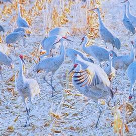 Field of Cranes, Sandhills by Flying Z Photography by Zayne Diamond