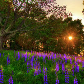 Joann Vitali - Field of Lupines - Sugar Hill, NH