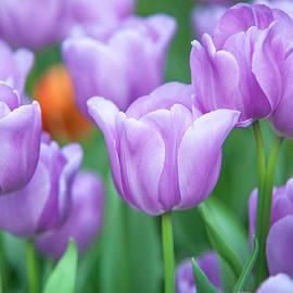 Jenny Rainbow - Field of Purple Tulips