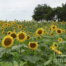 Field of Sunflowers by Meandering Photography