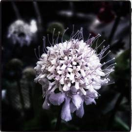 Jim James - Field Scabious. A Member Of The
