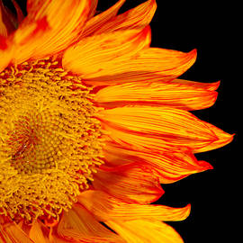 Daphne Sampson - Fiery Orange Sunflower