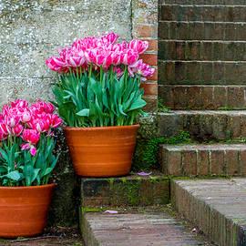 Filoli Tulips by Bill Gallagher