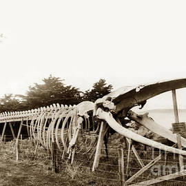 California Views Mr Pat Hathaway Archives - Finback whale skeleton erected by Japanese abalone divers at Point Lobos c. 1908