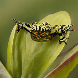 Linda D Lester - Fire-Bellied Toad