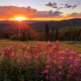 Johnny Adolphson - Fire weed wildflowers near Buffalo Pass.