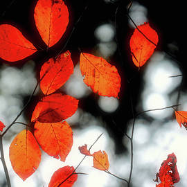 Susan Maxwell Schmidt - Fires of Autumn
