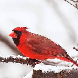 First Snow Cardinal by Lara Ellis