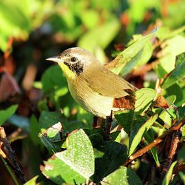 Jill Nightingale - First Winter Male Common Yellowthroat Warbler