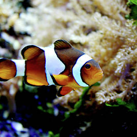 Toni Hopper - Fish stripes Clownfish